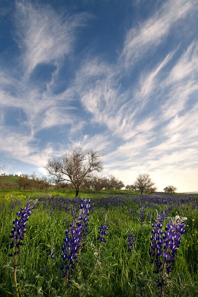 lupines, wildflowers, Israel