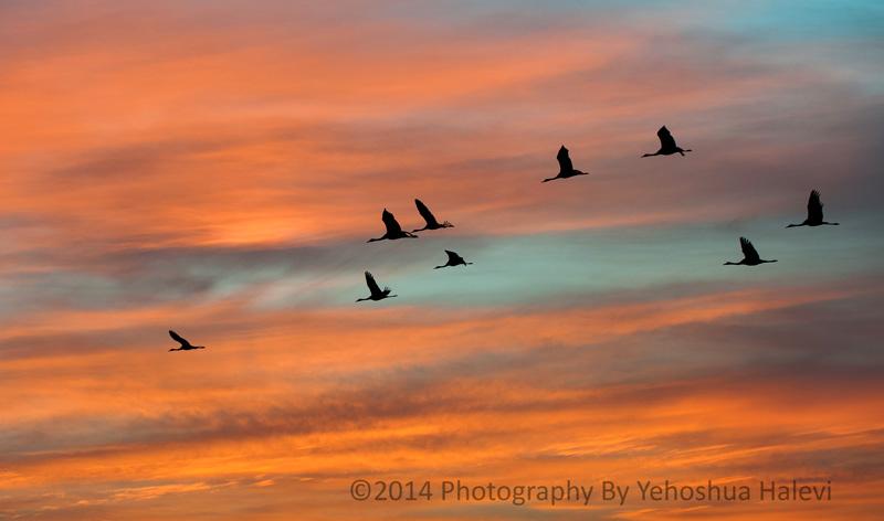 Cranes, migration, Hula Valley, Israel, Halevi