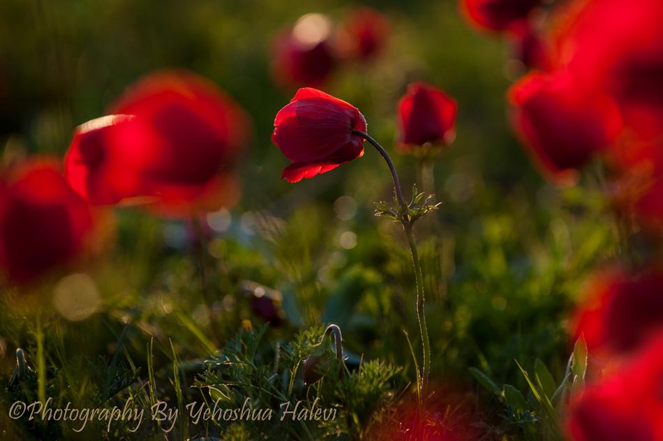 Wildflowers, Israel, workshop, Halevi, Anemone, red
