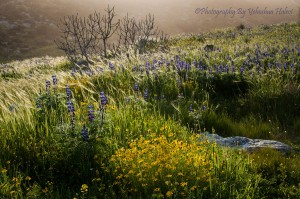 Lupine Hill, Givat HaTurmusim, Israel, Spring wildflowers, photography workshop