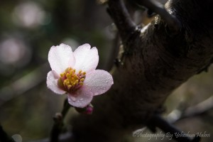Almond, blossom, Halevi, workshop, spring