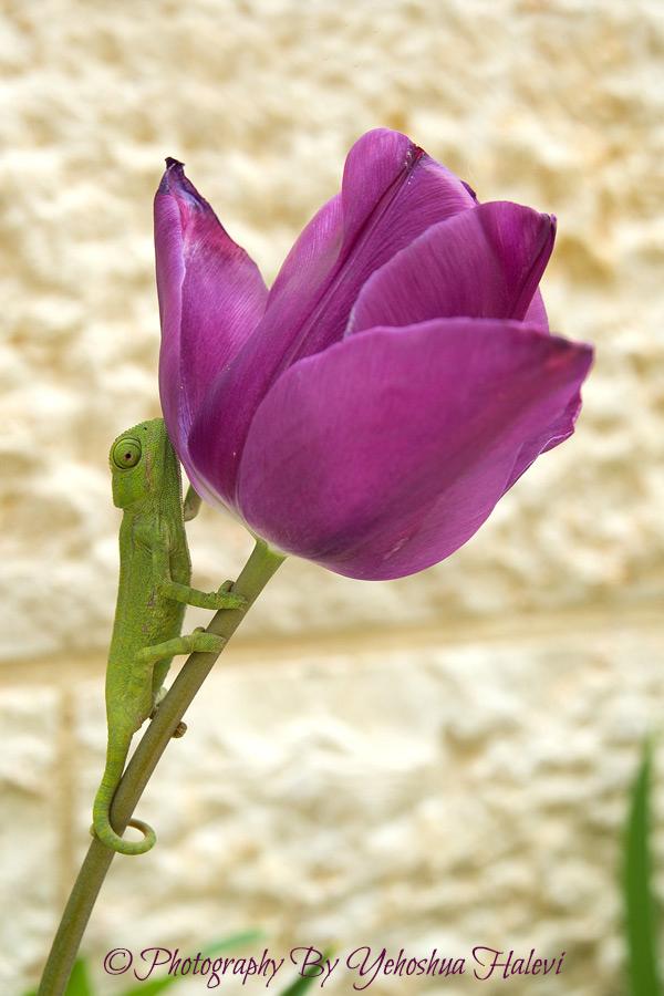 Chameleon, tulip, Yehoshua Halevi, photography, workshop, Israel