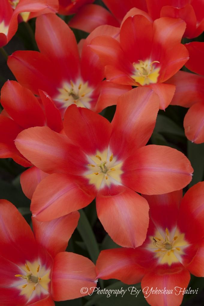 Tulips, Keukenhof, Yehoshua Halevi, Photography workshop course