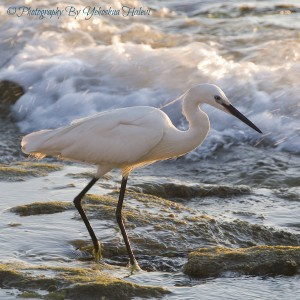 Egret, bird, yehoshua, Halevi, Israel , photography, workshop
