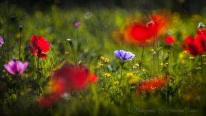 spring, Israel, Halevi, wildflowers, Israel