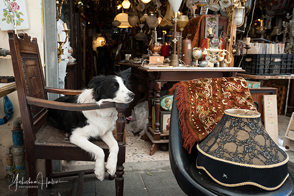 A dog rests on an antique chair during an Israel photography tour in the Jaffa flea market.