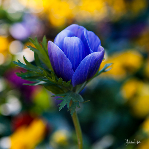 Close-up of a purple anemone flower set against a blurry background of colorful flowers