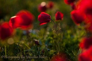 Wildflowers, Israel, workshop, Halevi, Anemone, red