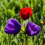 Colorful anemones in a spring by professional photographer Yehoshua Halevi.