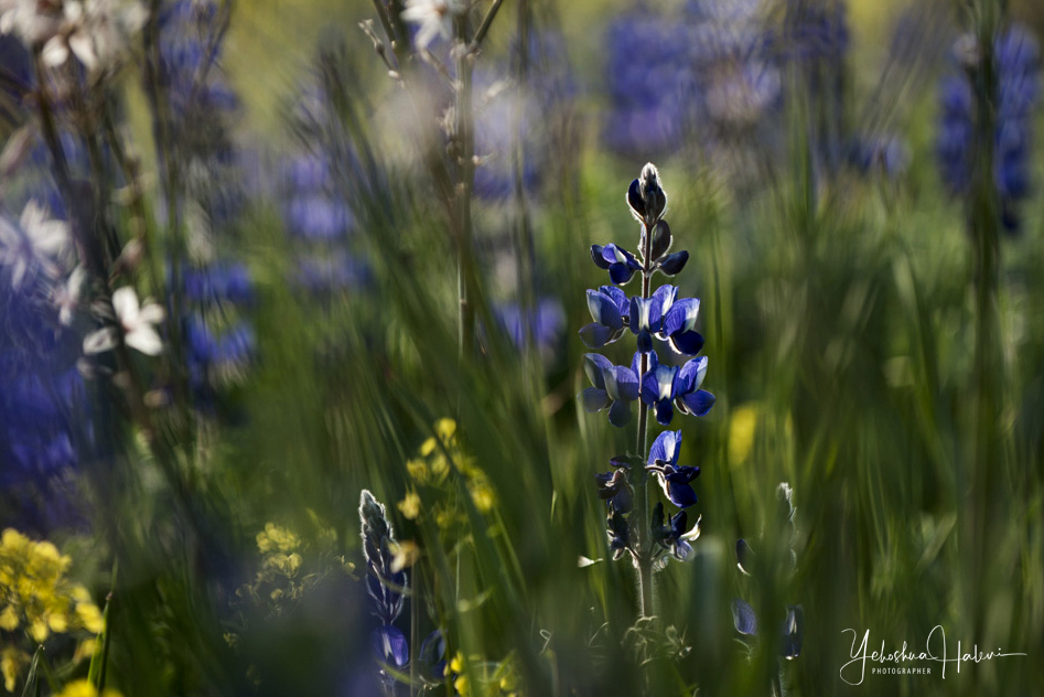 Purple lupine blossoming in spring on an Israel Photography Tour in the Ela Valley.