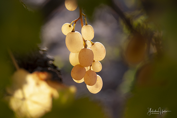 Yellow grapes ripening in a vineyard in Israel the beautiful.